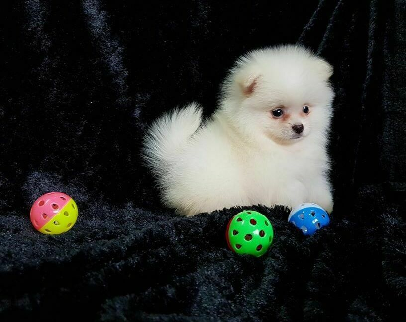 Available Puppies In 2020 Puppy Kisses Pomeranian Puppy Puppies