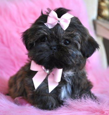 Imperial Shihtzu Puppy Cute Cute Cute Shih Tzu Cute Dogs Animals Beautiful