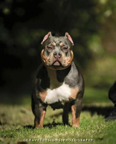About With Images American Bully Bully Breeds Animal Lover