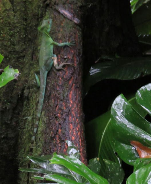Bird Photos, Birding Sites, Bird Information: EMERALD BASILISK LIZARD, ECOCENTRO DANAUS ECOLOGIC...
