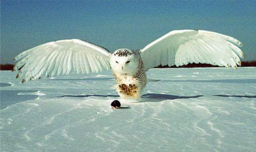 arctic fox clip art | Snowy Owl Coloring Pages Arctic Fox Coloring ...