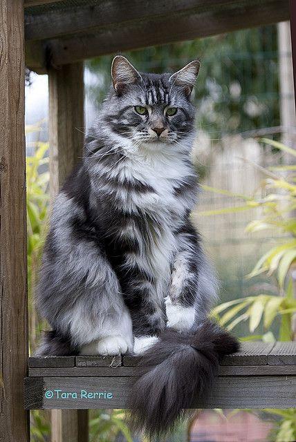Hi I M Rippleflower I Am A Pretty Greyish Tabby She Cat With A