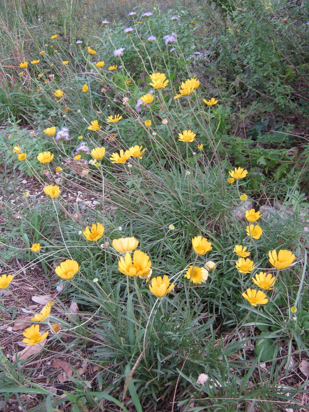 Four Nerve Daisy Tetraneuris Scaposa A Great Little Texas Native