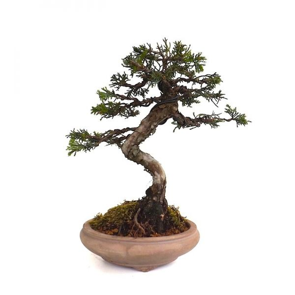 acheter un bonsa juniperus chinensis shohin 27 cm jc140301 magasin bonsai en ligne sankaly. Black Bedroom Furniture Sets. Home Design Ideas
