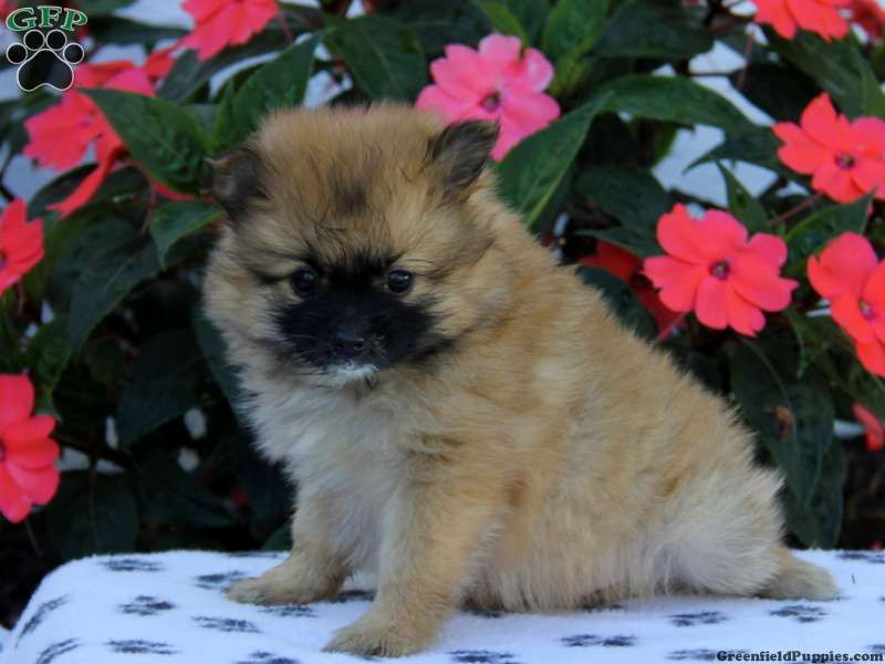 Caramel pomeranian puppy for sale in bird in hand pa