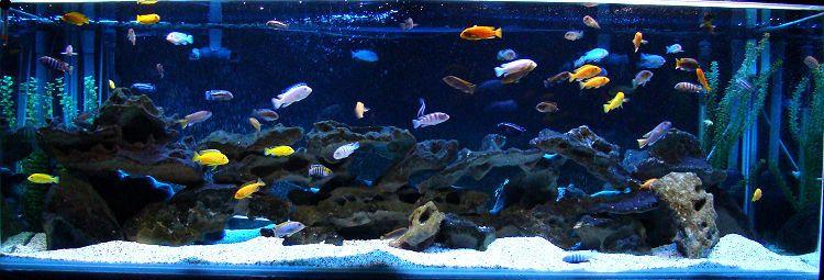Freshwater Tank 180g Mbuna Aquarium Tank Description 6x2x2 African Cichlid Tank Fish Aquarium Decorations Tropical Fish Aquarium Cichlid Aquarium