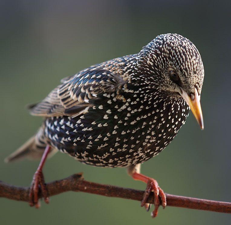 Bergfink Star Starling Sturnus Amsel Meisen Vogel Des Jahres Vogel Im Garten Lustige Vogel