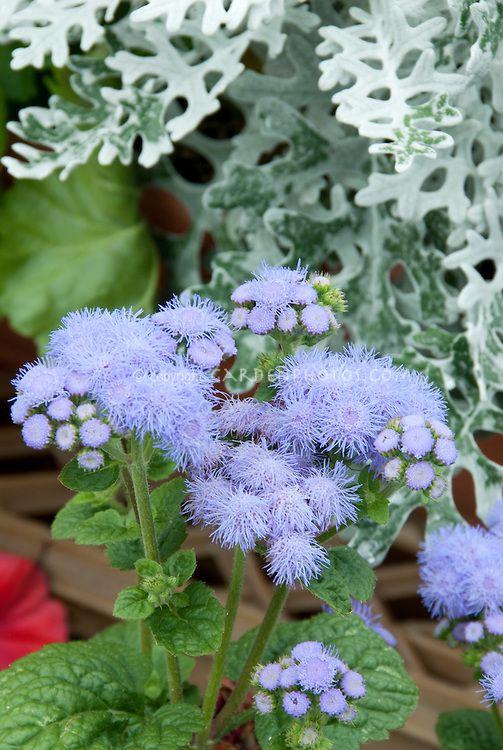 Ageratum High Tide Blue In Bloom Plant Flower Stock Photography Gardenphotos Com Plants Flower Stock Photography Wonderful Flowers