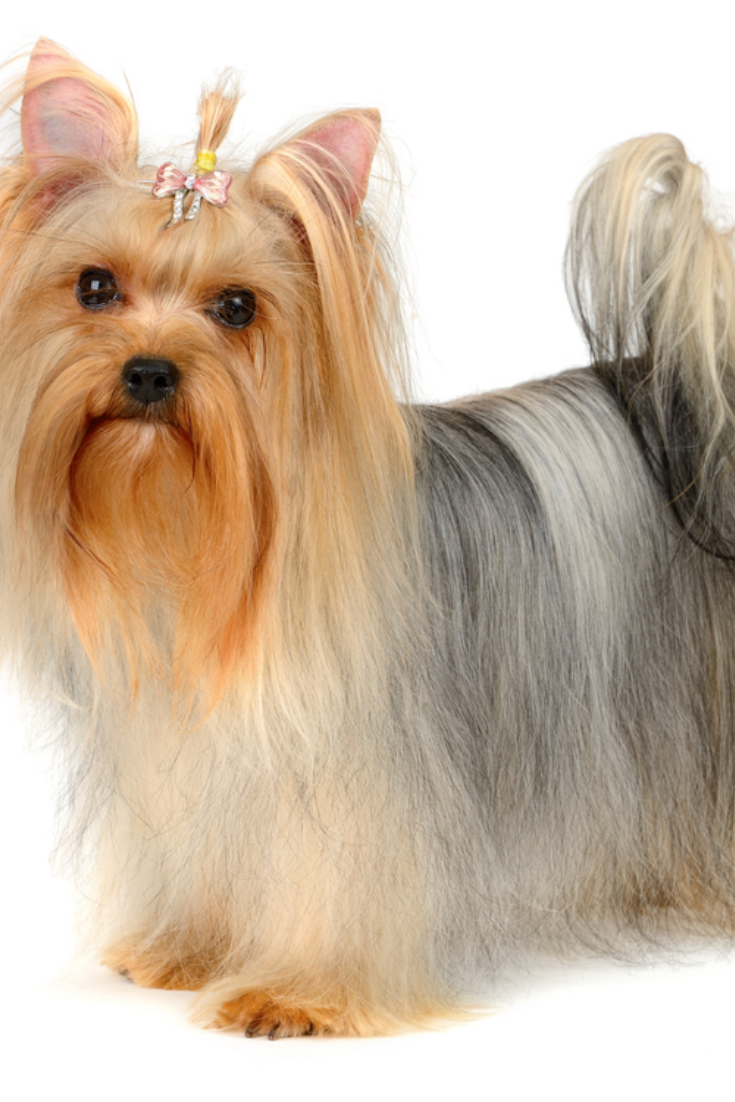 Small Dog In Snow Yorkshire Terrier Yorkshireterrier In 2020 Yorkshire Terrier Terrier Yorkie Lovers