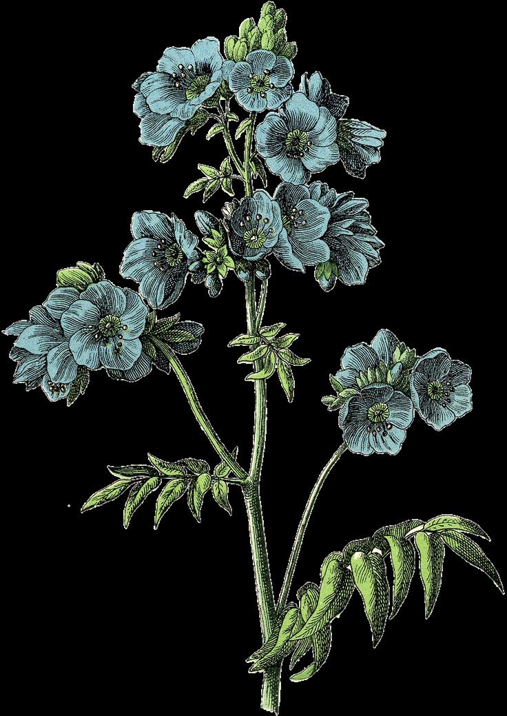 Freetoedit Vintage Draw Flower Aesthetic Drawing Remixit Botanical Prints Free Botanical Prints Blue Flowers Images
