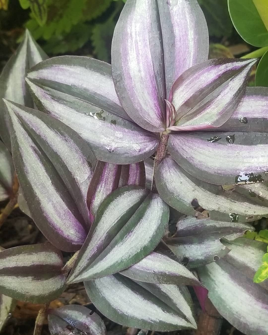 Lots of new growth!! ð Spiderworst (Wandering Jew) And Elephant Ears  #pittsburghplants #plants #plantnursery #pittsburghlandscaping #plantinstallation #wedoplants #plantsmakeyouhappy #tropics #tropicals #tropicalplants #gardeners #pittsburghgardens #veggieplants #plantsyoucaneat #plantlady #smallbusiness #lowprice #bogo #green #pittsburgh #412 #elephantearsandtropicals Lots of new growth!! ð Spiderworst (Wandering Jew) And Elephant Ears  #pittsburghplants #plants #plantnursery #pittsburghland #wanderingjewplant