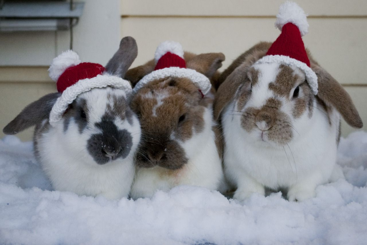 Christmas Bunnies Funny Christmas Pictures Christmas Animals Bunny Pictures