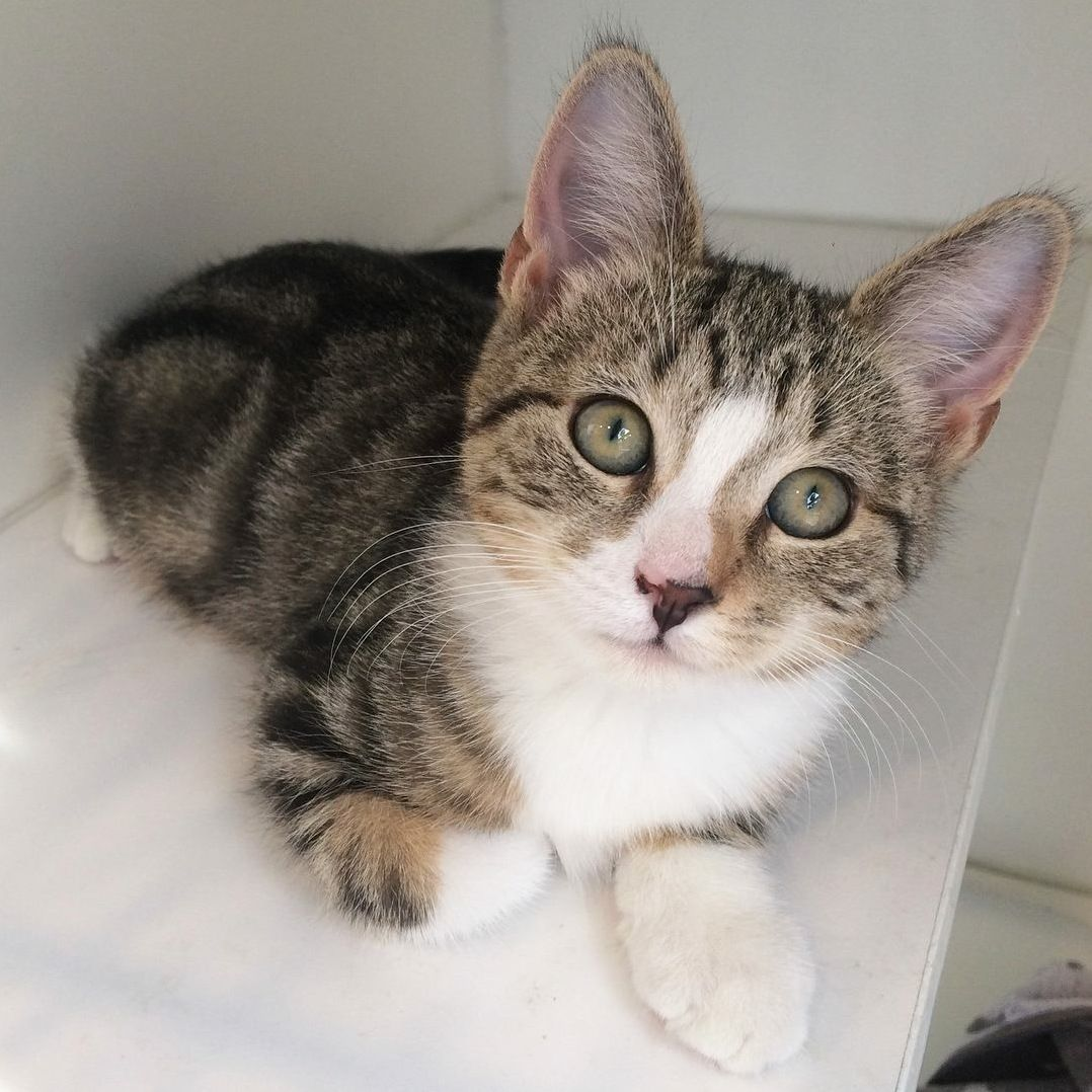 Sweet Baby Clover Is Ready To Find A Home Took This Glamour Shot For His Adoption Profile Today Cute Cats And Kittens Cats And Kittens Cats