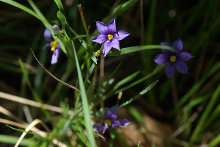 Blue-eyed-grass (Sisyrinchium langloisii)