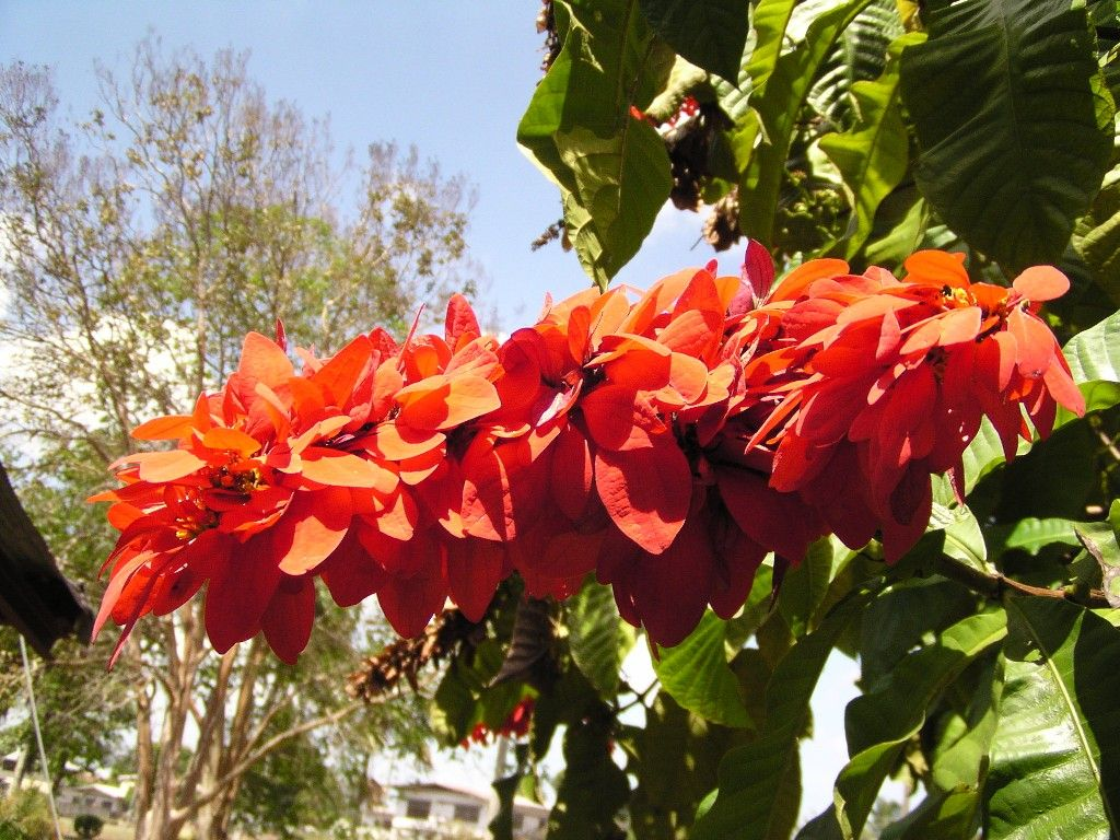 The Chaconia (Warszewiczia coccinea) is the national
