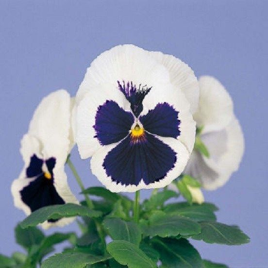 50 Pansy Seeds Majestic Giant Blue And White Flower Seeds Flower Seeds Pansies White Flowers