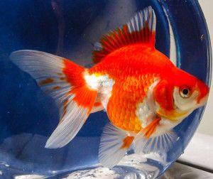 Red And White Ryukin Goldfish Goldfish Aquarium Fish Ryukin Goldfish