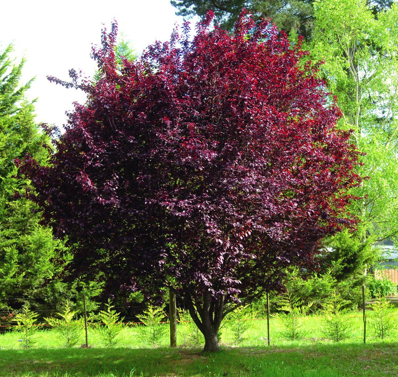 Prunus pissardii nigra deciduous tree that becomes for Garden deciduous trees