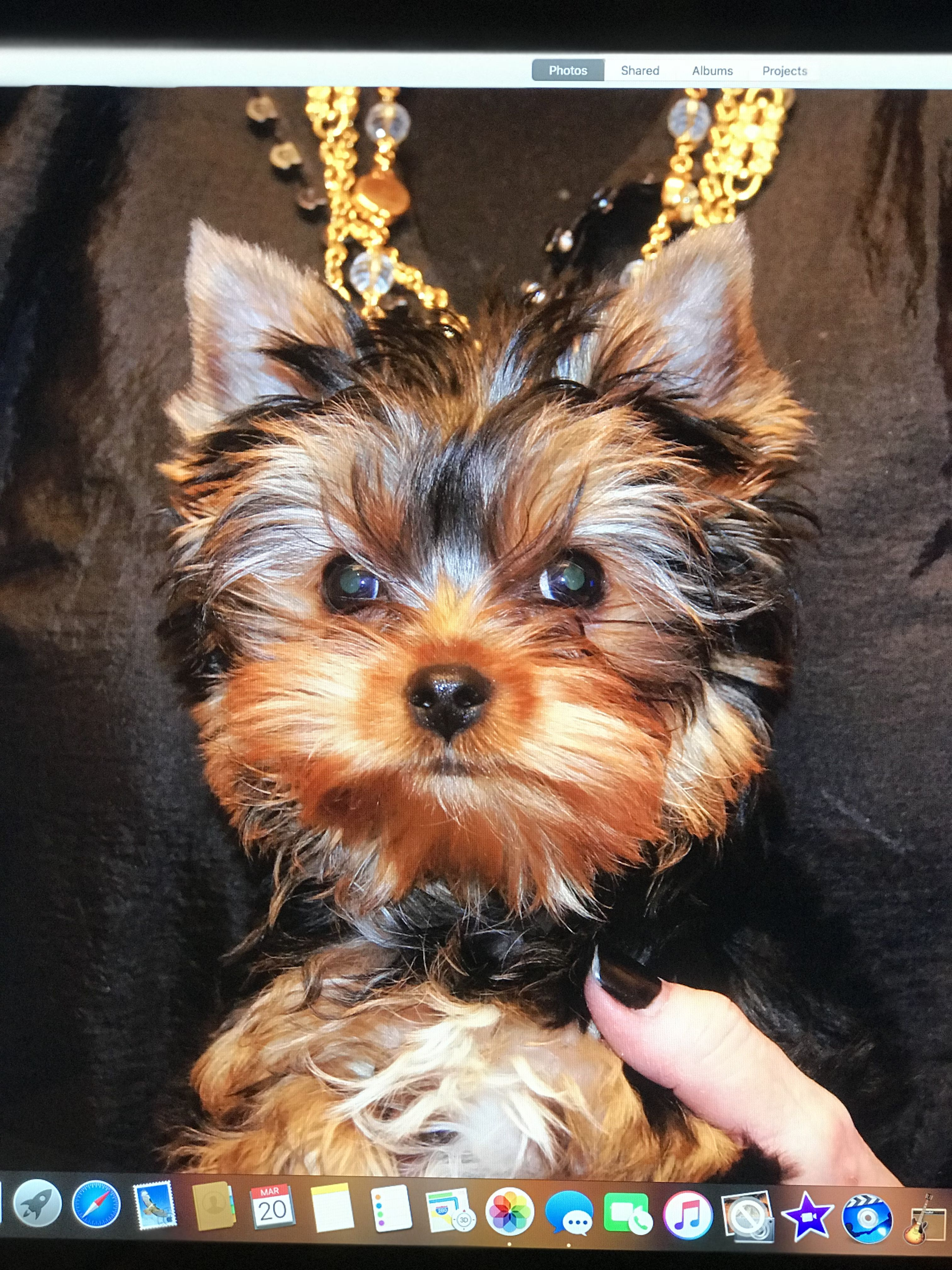 Radford Yorkshire Terriers Image By Brian Tupes Yorkshire