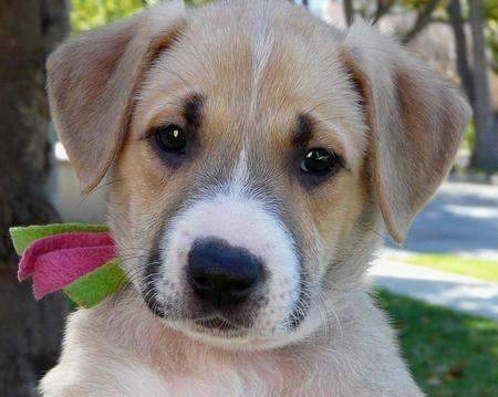 The Adoptable Shepherd Mix Puppies Shepherd Mix Puppies Boxer Mix Puppies Puppies