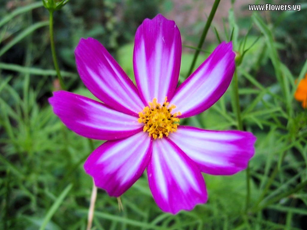 Cosmo Flower Pictures Of Purple White Cosmos Daisy Flowers With
