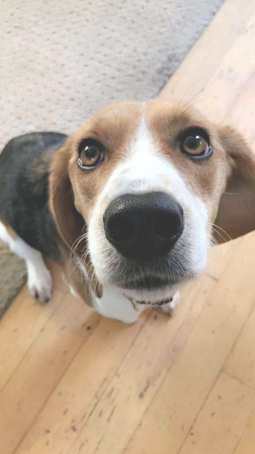 The Curious Beagle Puppies Exercise Needs Beaglemom Justbeagles