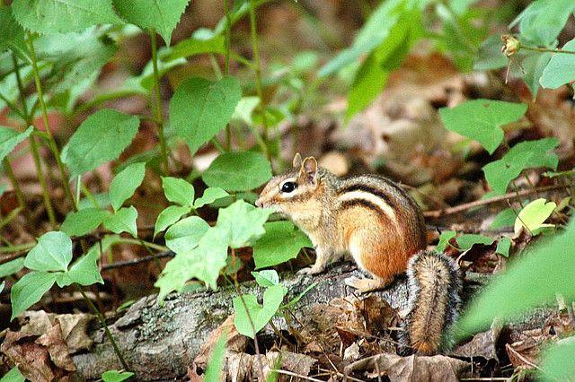 Chipmunk | Endless Wildlife