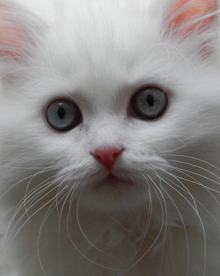 Yeti the himmy kitten Adorable Kittens Pinterest Cat, Adorable - resume yeti