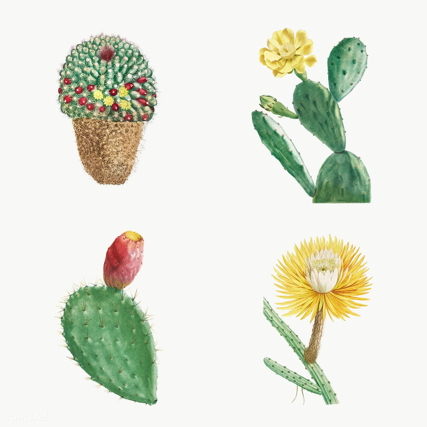 Set Of Succulents And Cacti Transparent Png Premium Image By Rawpixel Com Cactus Illustration Flower Illustration Cactus Flower Painting