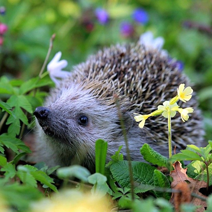 Help Our Hedgehogs Helpful Garden Features The Hedgehog