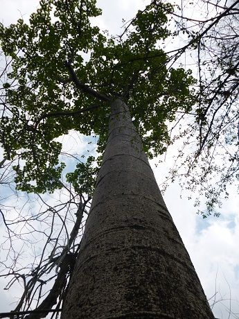 Magnificent Ceiba trees in the Puyango Forest, Ecuador.