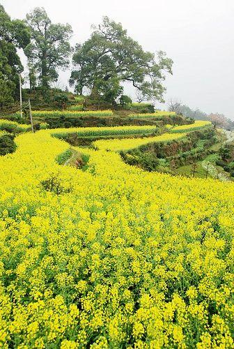 Canola Field - Wuyuan, JiangXi, China