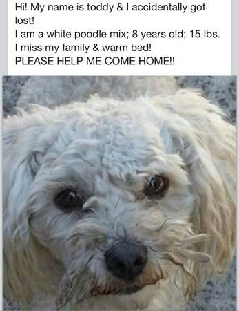 My Friend Lost His Poodle In Arleta Arleta Hi My Name Is Toddy I Am A White Poodle Mix 8 Years Old 15 Pounds Losing A Dog Poodle Mix I Miss My Family