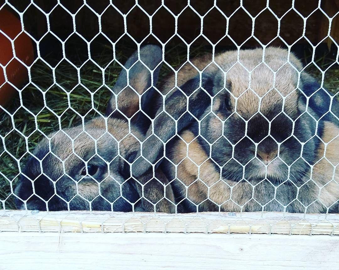Das ist so süß!!! Findet ihr auch? Sorrydas das Gitter davor ist aber es ist so sweetwie die 2 Kreuz und quer kuscheln #sweet #love #hasenliebe #süß #2 #hasen #rabbits #kuscheln by inka.b