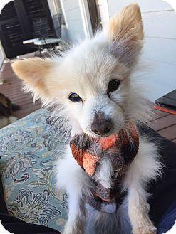 Homewood Al Pomeranian Mix Meet Tom The Pom A Dog For