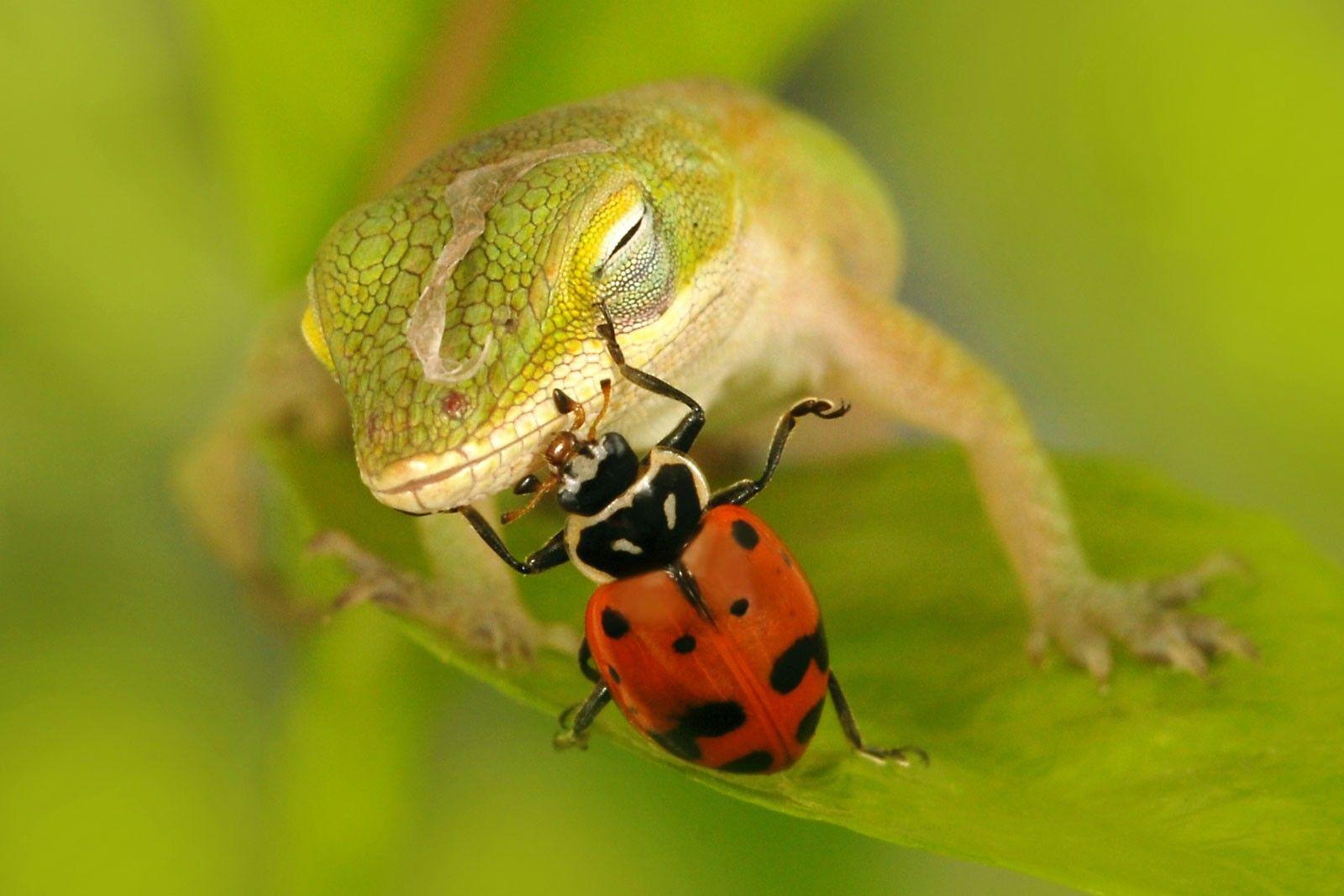 Anole Baby Lizard and Ladybug | Ladybugs | Pinterest ...