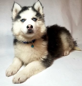 Siberian Husky Puppy For Sale In Nashville Tn Adn 53715 On Puppyfinder Com Gender Male Age 8 Weeks Old Siberian Husky Husky Puppy Siberian Husky Puppy