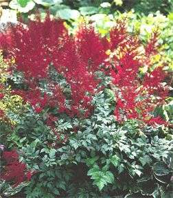 Astilbe Glow Glut 25 Plants Common Name False Spirea Zones 4 To 9 Full Sun To Full Shade Plants Reach Astilbe Arendsii Perennials Annual Plants