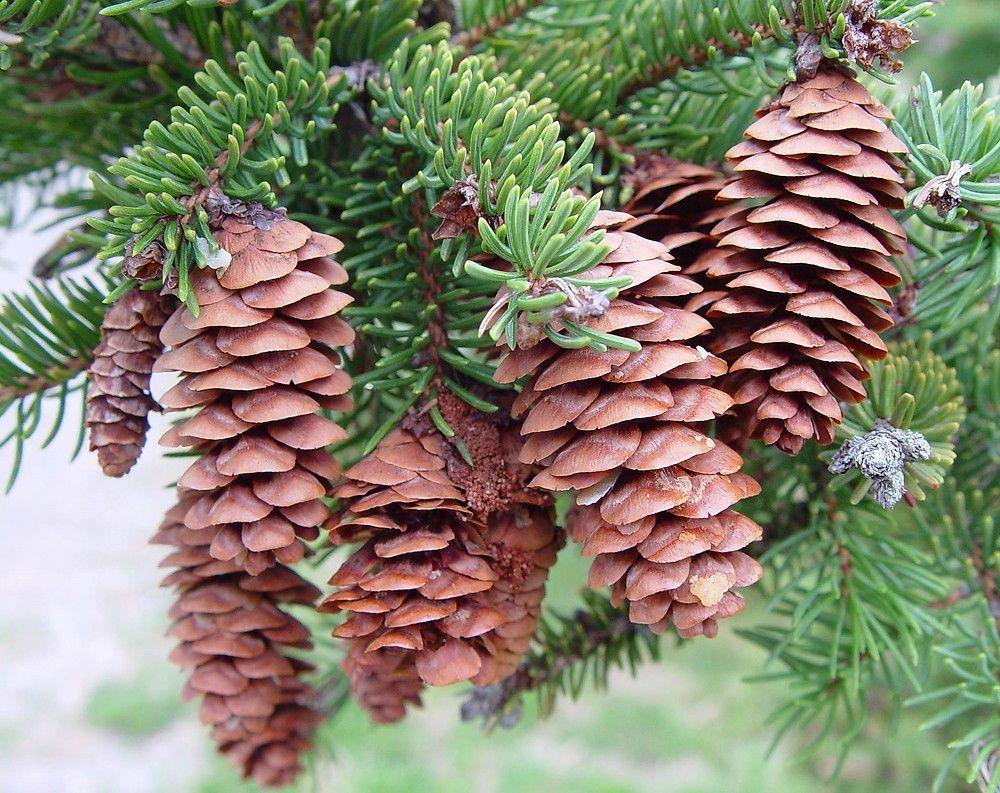 """Picea Glauca - """"White Spruce"""""""