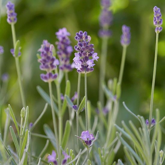 The Best Fragrant Flowers for Your Garden Lavender Plants and