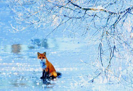 Jäällä istuskelevan ketun kuvasi tammikuussa 2009 Henrik Lund. Vuoden luontokirja 2009 -teoksen kuvitusta.