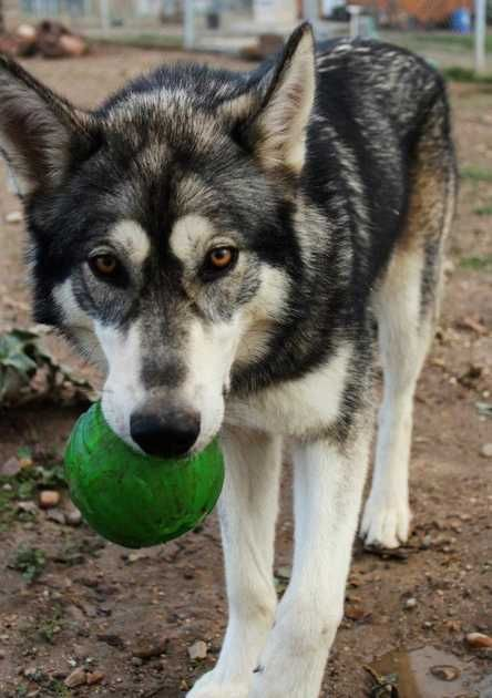 Pin By Kaitlin On Pets I Want Hybrid Dogs Wolf Hybrid Dogs Dogs