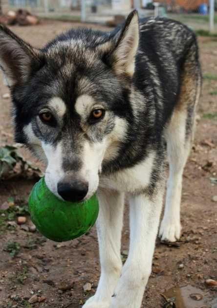 wolamute malamute x wolf hybrid pets i want pinterest wolf