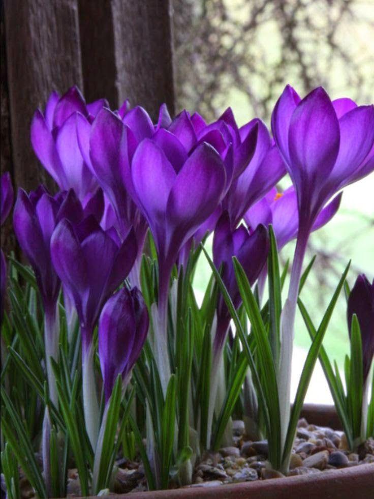 crocus early spring blooms perennial bulbs flowers