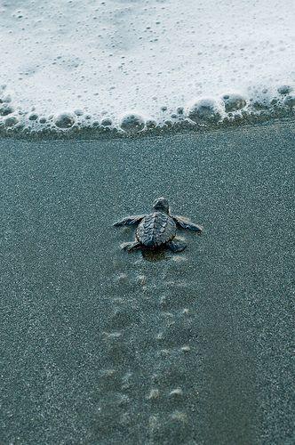 you go little sea turtle!