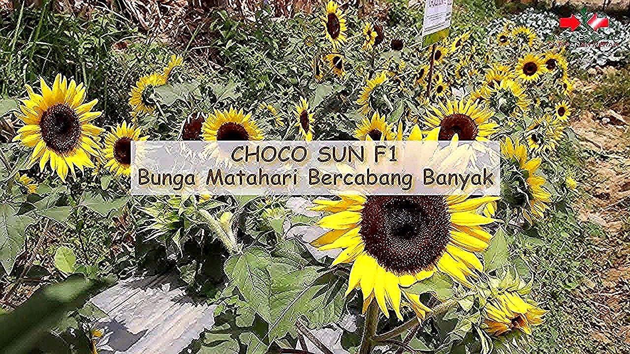 foto bunga banyak choco sun f bunga matahari bercabang banyak