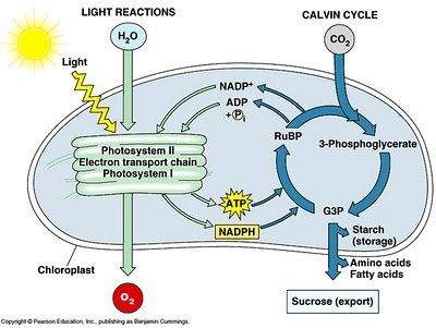 Co2 Is Plant Food Photosynthesis Photosynthesis And Cellular Respiration Biology Classroom