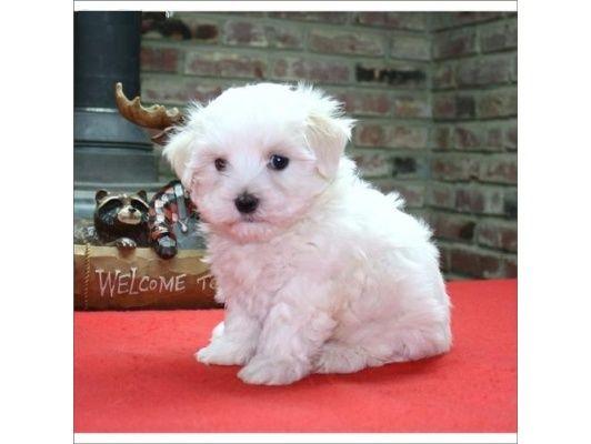 Cachorros Pequenos De Bichon Maltes Animals Dogs Cute