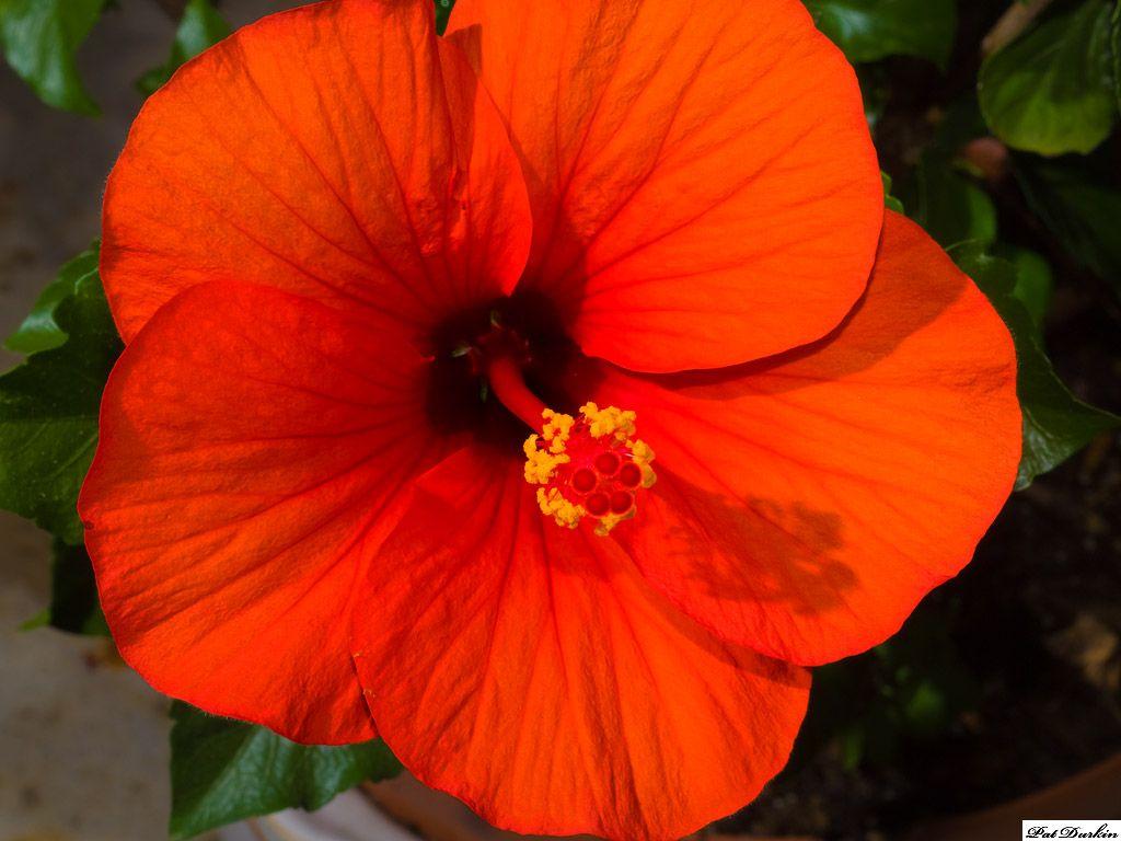 Red Orange Hibiscus Hibiscus Hibiscus Garden Flower Hair Pin