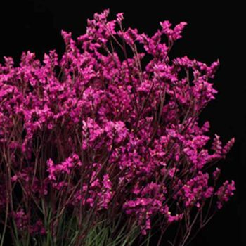 Hot pink tinted limonium flower hot pink tinted limonium flowers are hot pink tinted limonium flower hot pink tinted limonium flowers are a perfect colorful filler flower its spacious form is made up of hundreds of tiny mightylinksfo